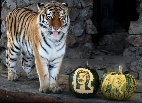 izbori-tigrica
